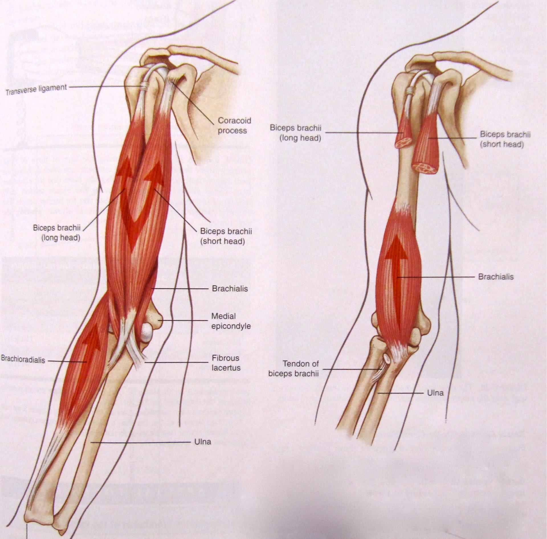 arm tendons diagram anatomy lesson biceps beautiful to the core  anatomy lesson biceps beautiful to